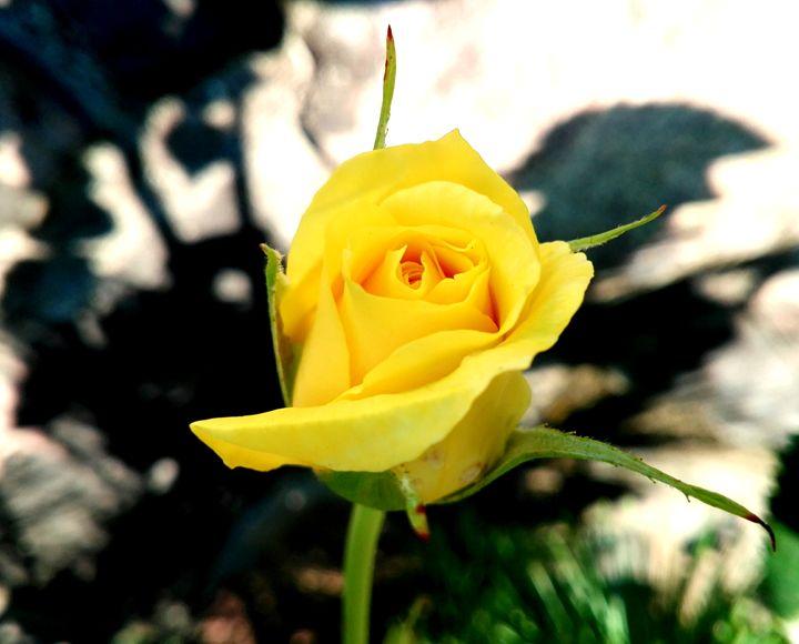 yellow rose - Jana ART