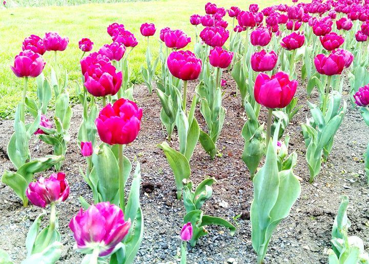 pink tulips - Jana ART