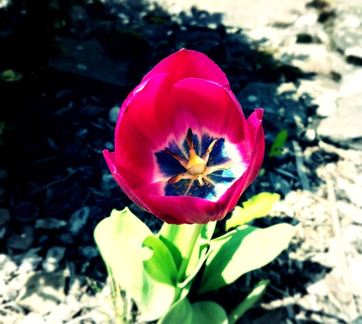 pink tulip - Jana ART