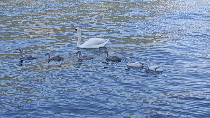 Swans family - ArtAnnaGogoleva