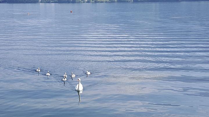 Swans babys - ArtAnnaGogoleva