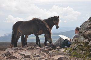 Inquisitive Exmoor Ponies