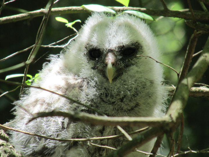 Great Horned Owl - Ryan