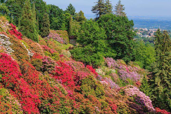 the valley of flowered rhodondendros - susanna mattioda