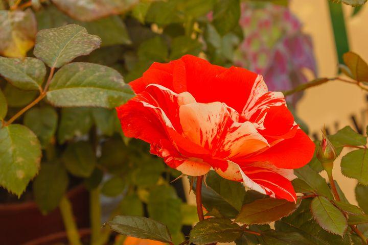Hanky Panky is an American rose - susanna mattioda