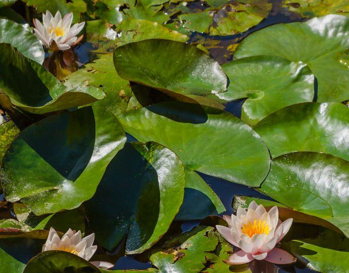 water lilies blooming in a pond - susanna mattioda