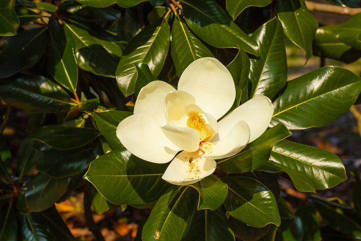 a white  flower of magnolia - susanna mattioda