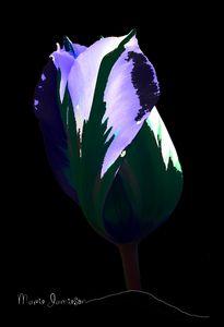 Tulip Imagined