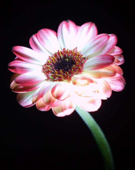 Illuminated Flower - Sarita Jarrett