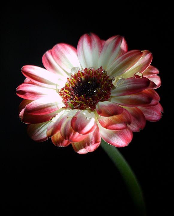 Flower Light Variation - Sarita Jarrett