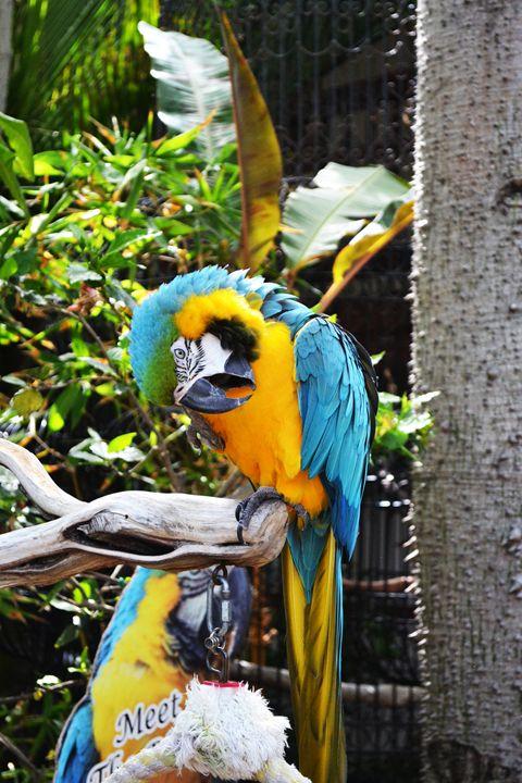 San Diego Parrot - Nick Degennaro