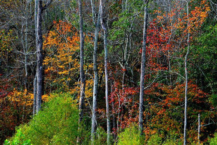 Fall trees - Gregg's Americana
