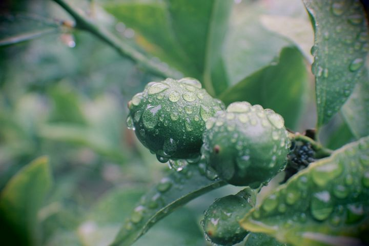 Lemon Tree After Rain - Ewkasso Paintings & Photography