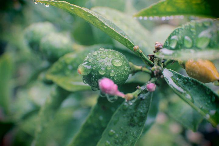 Secret Garden Lemon Tree with Flower - Ewkasso Paintings & Photography