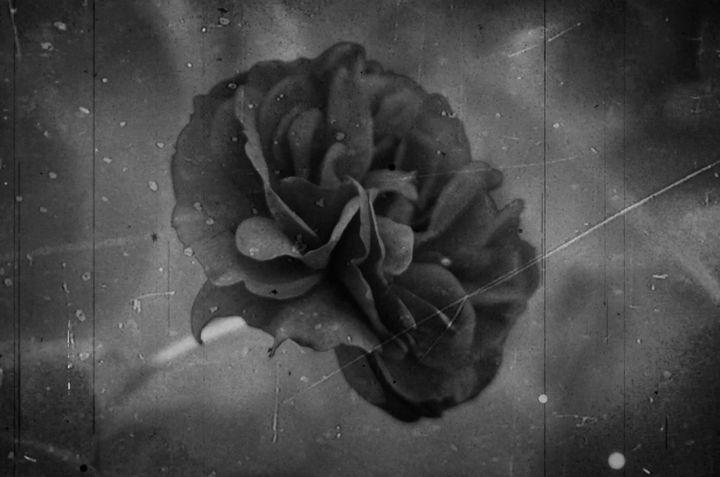 Old Rose - Karoline Stock