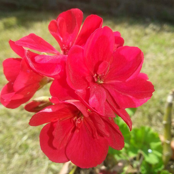 Geranium flower - Kelvin's Art Studio