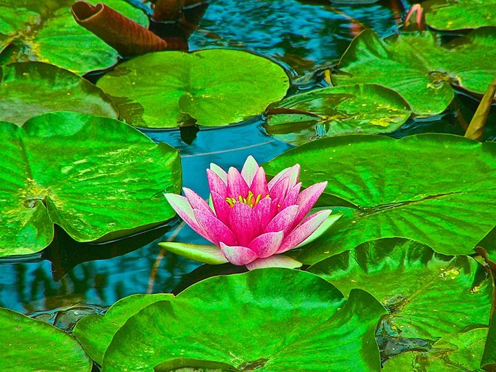 Pink Water Lillie - Hidden Mouse Art