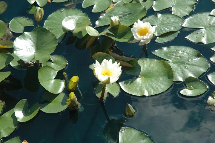Water lilies - Hidden Mouse Art
