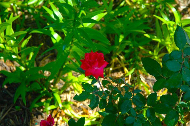 Blurred rose - Hidden Mouse Art