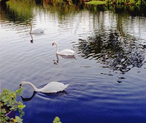 A group of 3 Swan's in colour