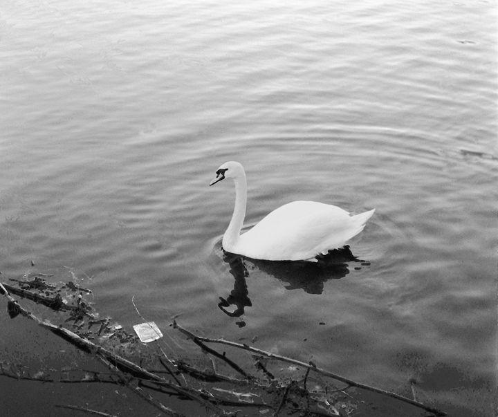 Solitary Swan - Envisual