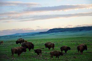 Buffalo Fields