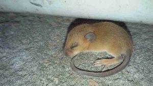 A mice