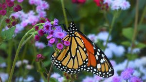 Monarch and Flowers - E. Chapdelaine Artwork