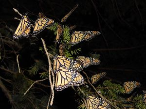 Monarch group at night