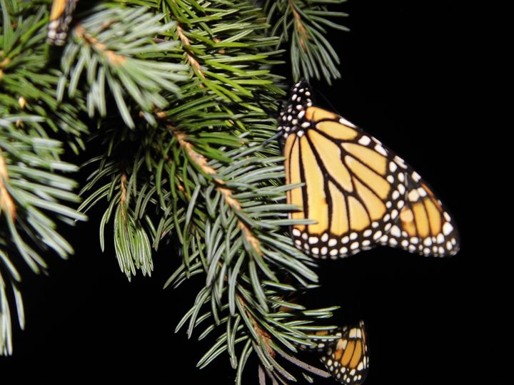 Monarch butterfly - Michigan's Natural Beauty