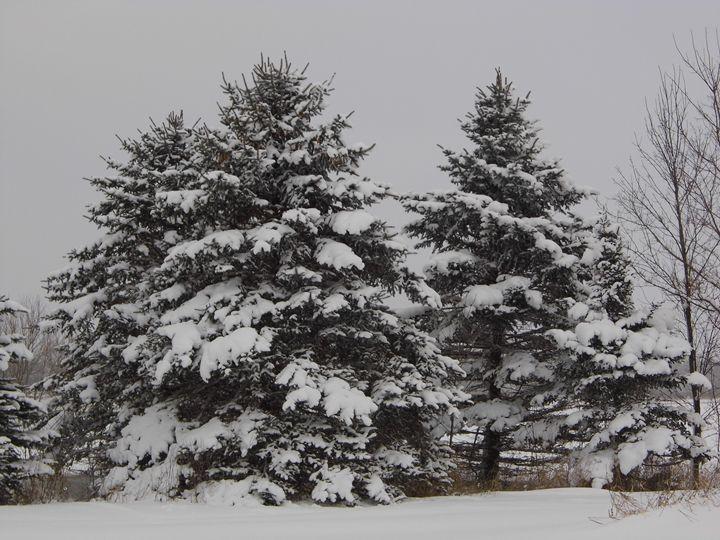 Winter pines - Michigan's Natural Beauty
