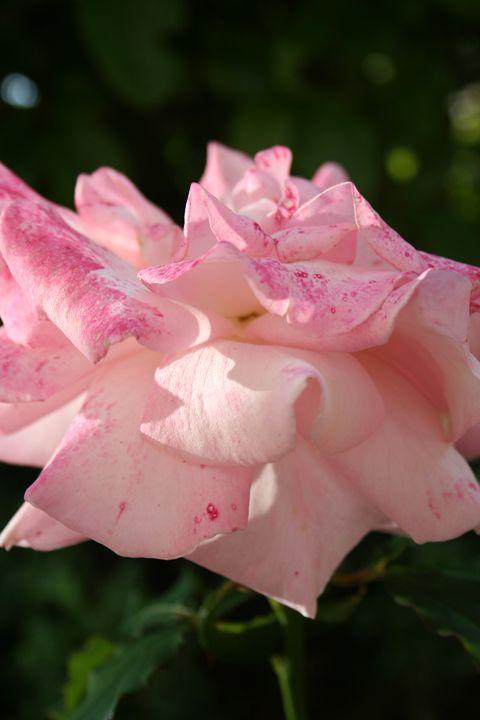 Pretty in Pink - Rhiannon Clarke