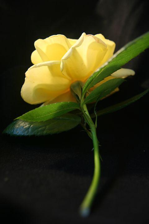 A Single Rose - Rhiannon Clarke