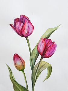 Pink-Red Tulips
