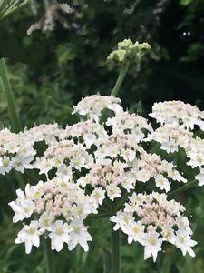 White Flora Daisy-Like Cluster