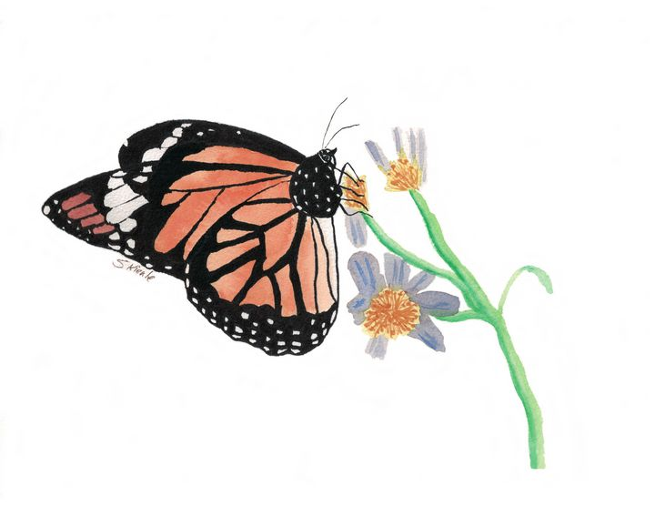 Monarch Butterfly - Sean Kienle Watercolor Designs