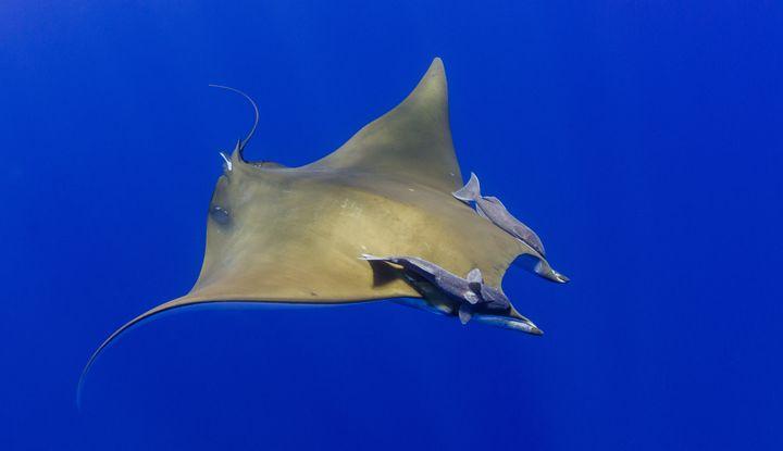 Manta - Underwater Art