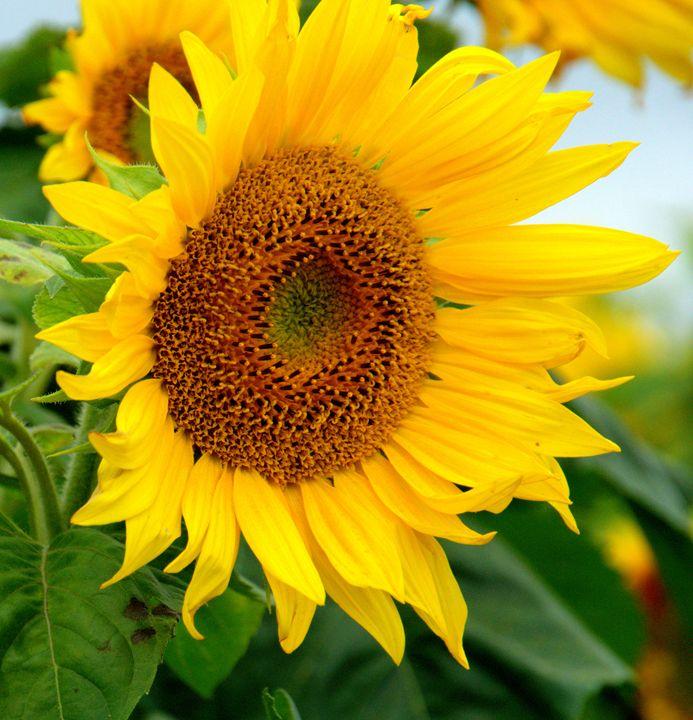 Sunflower I - photographybycaroline