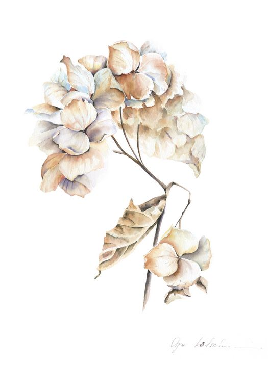 Dry Hydrangea Watercolor - Olga Koelsch