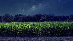 Starry Night Corn Field