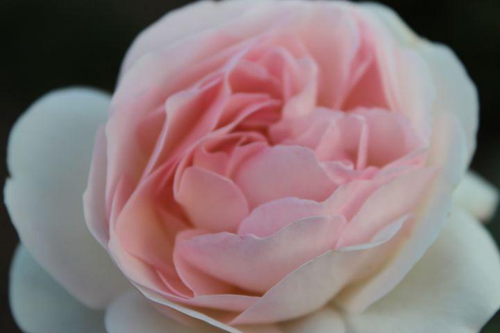 Late Summer's Rose - PatriciaHiltz