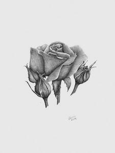 A Summer's Rose