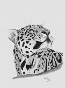 A Leopard's Gaze