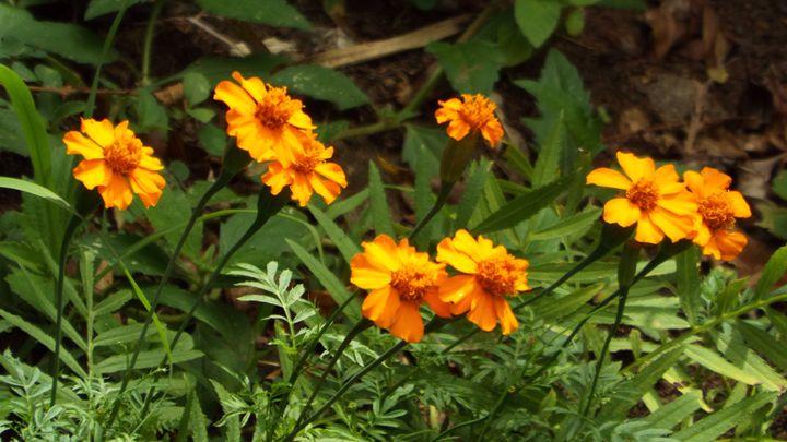 Marigolds - Zipporah Bowen