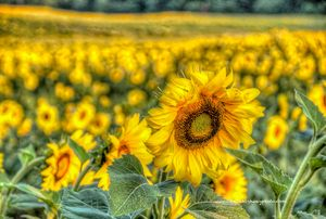Field of Sunflowers with paint effec