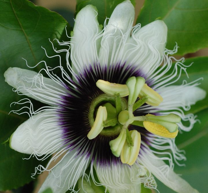 Passion Flower - from the heART of Eternity