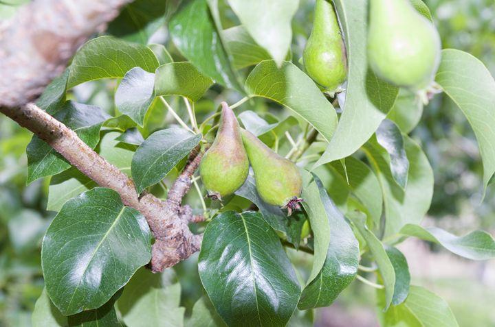 Four pears - Bob Corson Photography