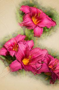 Purple Stella D'oro Day Lily Flowers - Bob Corson Photography