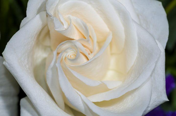 White Rose 3 - Bob Corson Photography