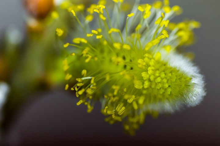 Macro of a Pussy willow blossom 2 - Bob Corson Photography